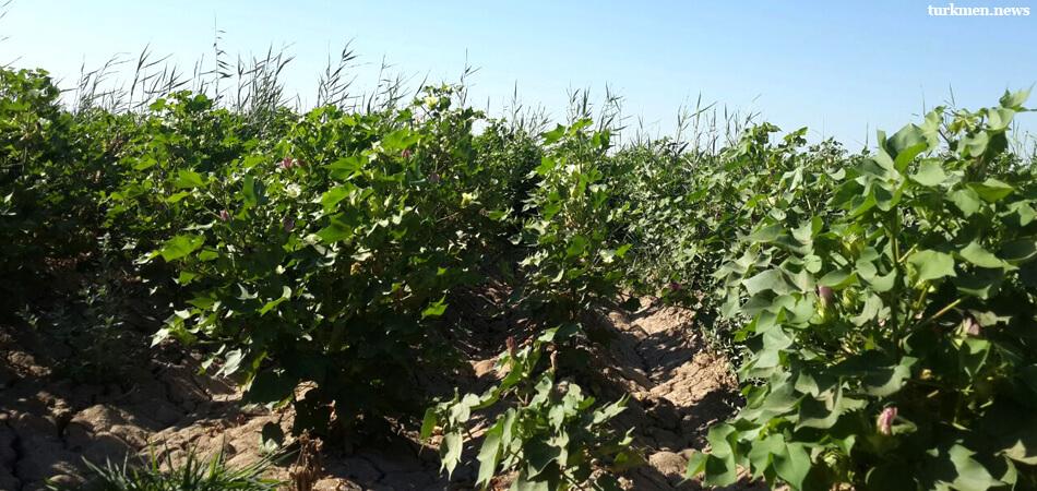 Дашогуз: Урожай хлопка ожидается поздний или вовсе никакой