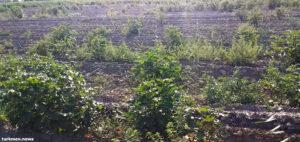 Туркменистан: Хлопка на полях еще мало, но отправка людей на его уборку уже в разгаре