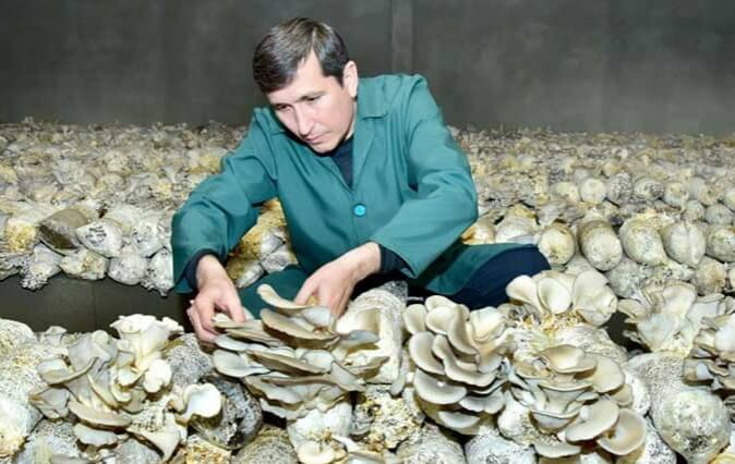 В Туркменистане будут выращивать грибы на хлопковой шелухе