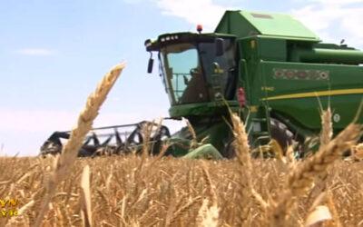 Американские эксперты предсказали 30-процентное снижение урожая пшеницы в Туркменистане