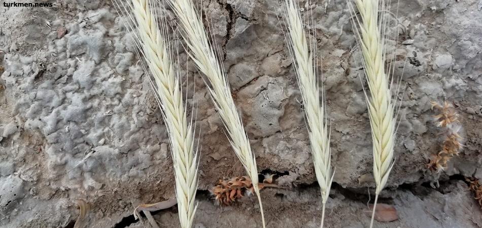 Власти Туркменистана отчитались о выполнении плана по сбору пшеницы. Граждане жалуются на нехватку муки