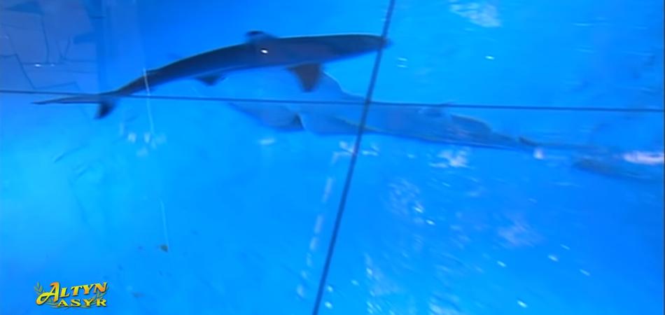 Бердымухамедов показал президентам стран Центральной Азии акул. Рыб привезли в апреле самолетом из Шри-Ланки